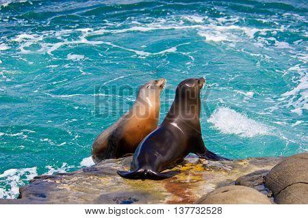California Sea Lions on the rocks at La Jolla Cove San Diego California