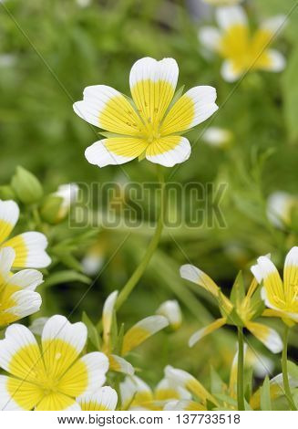 Douglas Meadowfoam or Poached Egg Plant - Limnanthes douglasii