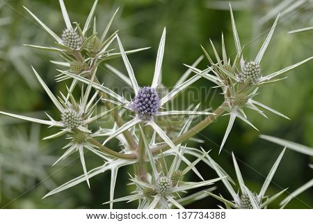 Moroccan or Variable-leaved Sea Holly - Eryngium variifolium Endemic to the Atlas Mountains of Morocco