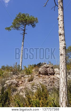 Pine tree in Regatxol way. Beceite. Teruel province
