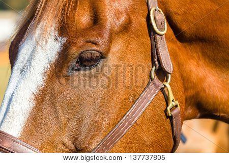 Horse eye head portrait bridle closeup detail of equestrian animal.