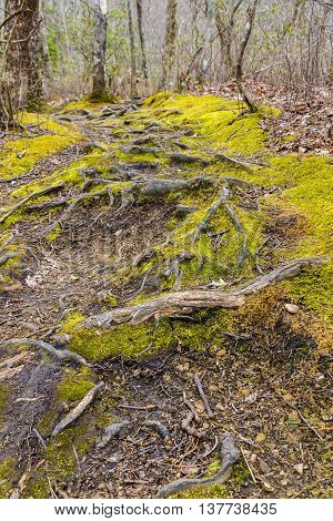 Tree roots on the footpath in forest of Great Smoky Mountains National Park.