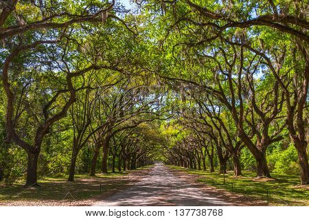 Long road with canopy of old live oak trees draped in spanish moss.