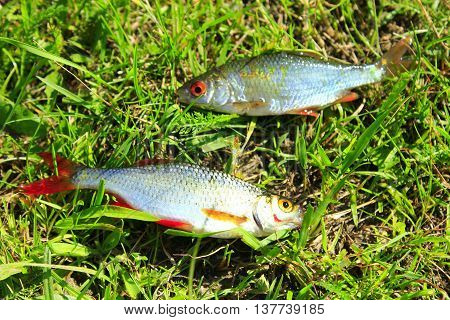 two beautiful caught ruddes laying on the grass