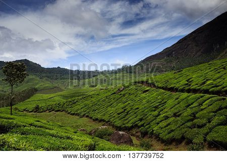 Lush Tea Plantation in the Hills of Munnar, Kerala, India.