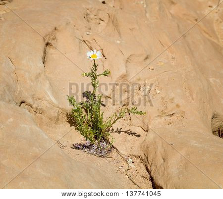 Flower growing on the stone chamomile in the Negev desert in the early spring Israel