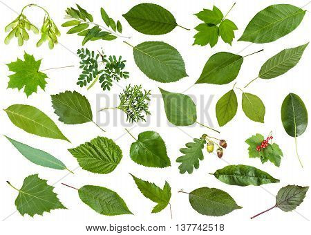 Green Summer Leaves Isolated On White