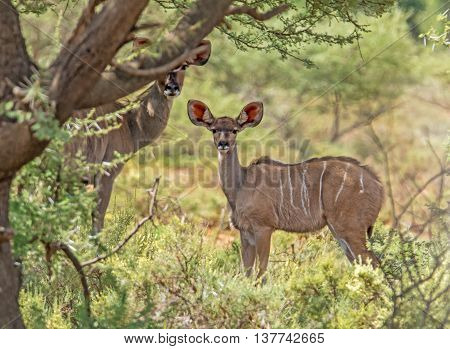 A young female Kudu standing in the shade under trees in the Southern African savannah