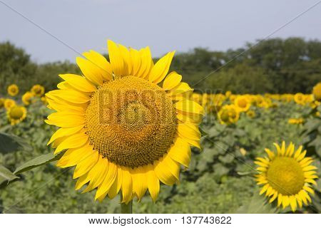 Blooming sunflowers on a background of blue sky and green field
