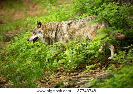 Gray/Eurasian wolf (Canis lupus) (moving fast through forest - motion blur technique is used to convey movement)