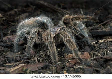 Chilean Rose Tarantula (Grammostola Rosea) on forest floor