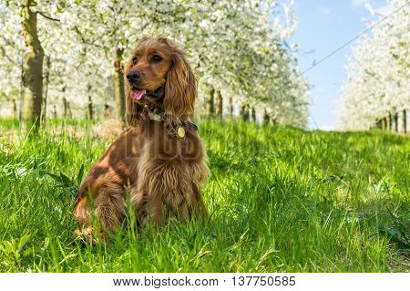 English Cocker Spaniel In The Fruit Garden