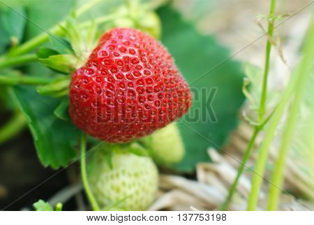 strawberry ripen in field close-up macro view