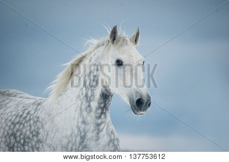 The grey dappled horse winter portrait closeup