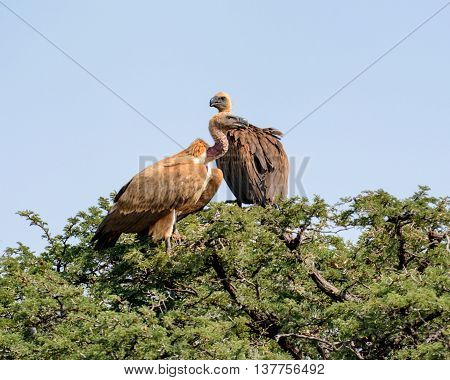 A pair of White-backed Vultures perched in a tree in Southern African savannah