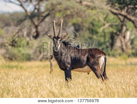 A side view portrait of a Sable bull standing in savannah in Southern Africa