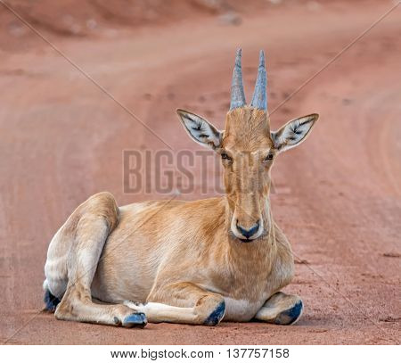 A juvenile Red Hartebeest lying on a reed dirt track in the Southern African savannah