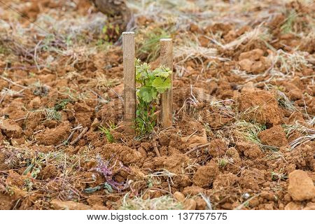 Young vines supported by two props Burgundy France
