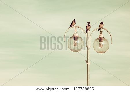 birds crows resting on city lamp against blue sky. Urban scene