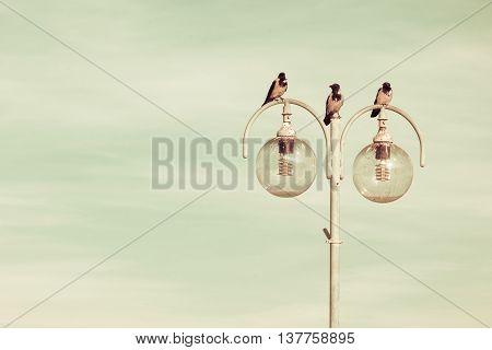 birds crows resting on city lamp against blue sky. Urban scene