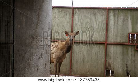 Curious elk in barn at feeding time at the farm