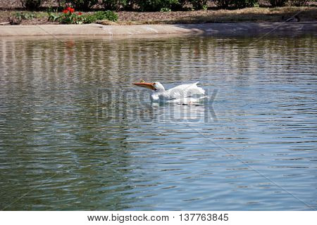 An American white pelican (Pelecanus erythrorhynchos) swims on the water.
