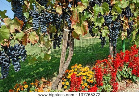 Blue grapes and colorful flowers in an European vineyard