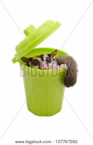 Sugarglider sitting in green trash bin and looking out on white background.