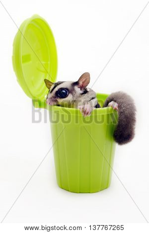 Sugarglider in green trash bin looking out for something on white background.