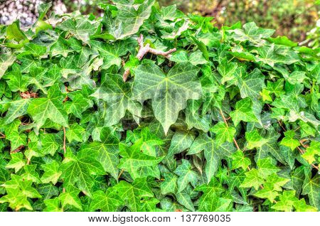 Closeup Of Ivy Leaf In Hdr