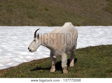 Male Billy Mountain Goat (Oreamnos Americanus) on Hurricane Hill / Ridge snowfield in Olympic National Park in Washington State USA