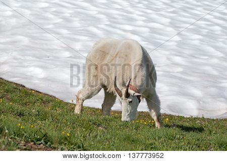 Male Billy Mountain Goat (Oreamnos Americanus) on Hurricane Hill snowfield in Olympic National Park in Washington State USA