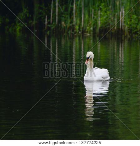 Beautiful Mute Swan Cygnus Olor Bird Swimming On Lake