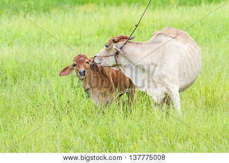 Thai mother cow and calf stay on the field