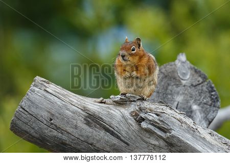 Chubby chipmunk resting on a weathered log