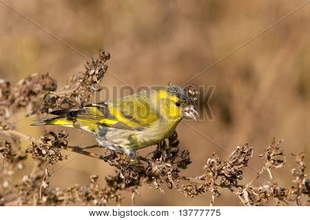 Male Siskin in full autumn courtship plumage / Carduelis spinus
