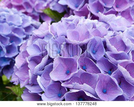 Purple hydrangea flowers growing in a garden