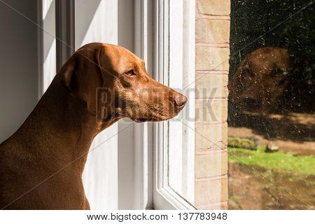 Close-up Of Hungarian Vizsla Looking Through Window