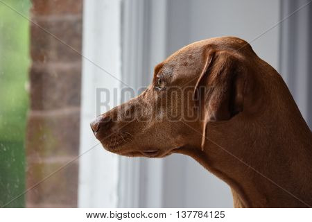 Close-up Of Hungarian Vizsla Staring Through Window