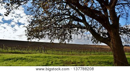 Landscape with Oak tree and wine field