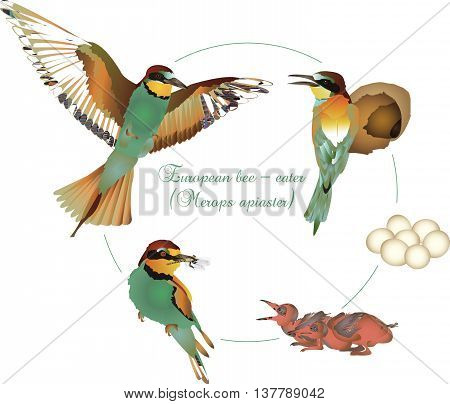 It is illustration of life cycle of European bee-eater