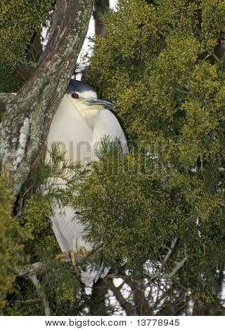 Adult Yellow-crowned Night Heron, Nyctanassa Violacea