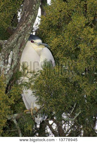 Adult Yellow-crowned Night Heron, Nyctanassa Violacea