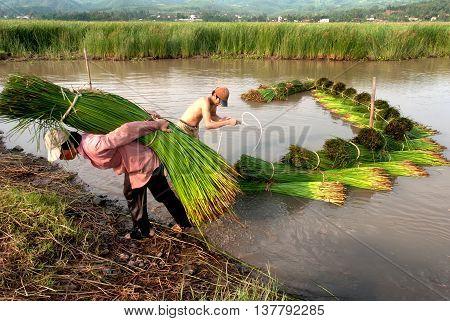 PHU YEN, VIET NAM, March 26, 2016 farmers, Phu Yen, harvested papyrus