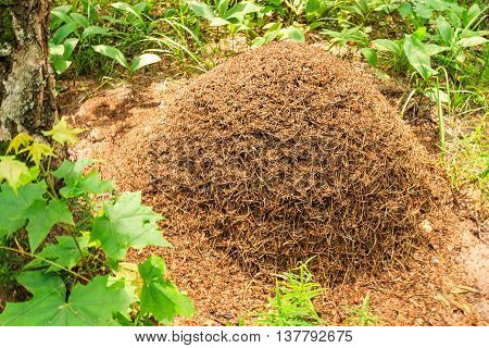 Anthill in pine forest at summer season