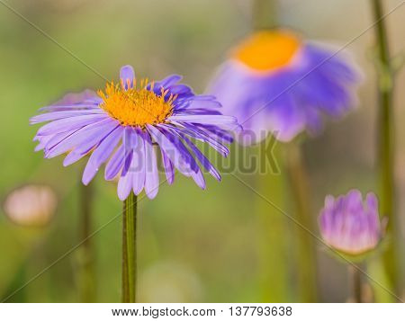 beautiful daisy with a bright yellow center with stamens and delicate lilac petals on a green background