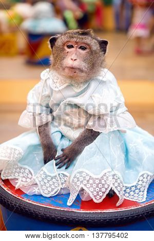 young marmoset monkey in a blue dress sits on the curb during the presentation