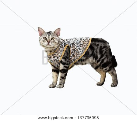 American shorthair cat. Isolated on white background with copy space