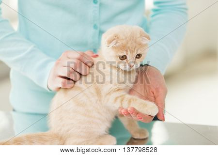 pets, animals and cats concept - close up of scottish fold kitten and woman