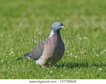 Common wood pigeon (Columba palumbus) resting on the ground in grass